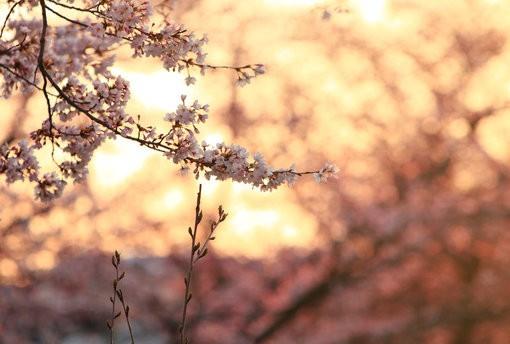 一棵开花的树(席慕蓉)