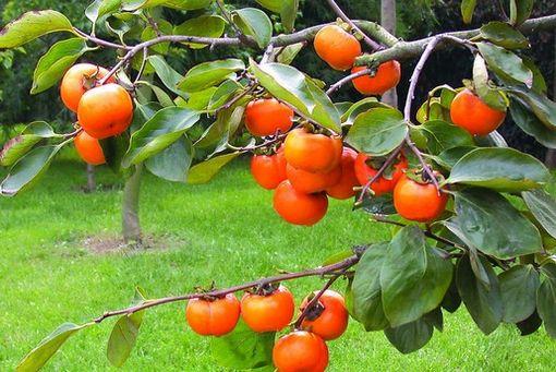 留几枚柿子在树上