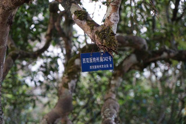 产地优质树都已经被政府保护
