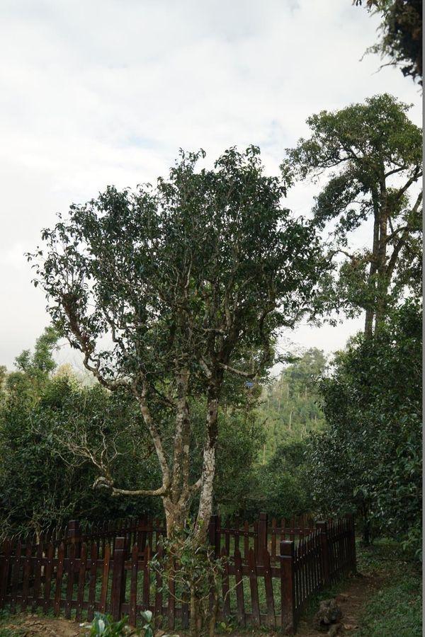 传说中的老班章茶王树